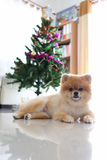 Pomeranian dog cute pet in home with christmas tree Stock Photo