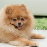 Pomeranian dog cute pets happy Royalty Free Stock Photography