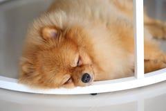 Pomeranian dog cute pets sleeping Stock Photos