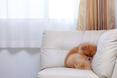Pomeranian dog cute pets sleeping on white leather sofa. Furniture royalty free stock images