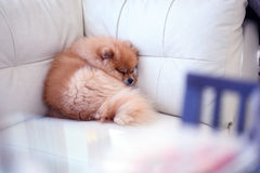 Pomeranian dog cute pets sleeping on white leather sofa Royalty Free Stock Photo