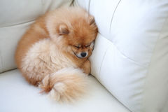 Pomeranian dog cute pets sleeping on white leather sofa. Furniture stock photography