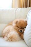 Pomeranian dog cute pets sleeping on white leather sofa Stock Image