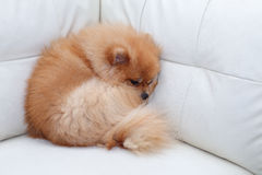 Pomeranian dog cute pets sleeping on white leather sofa Stock Photography