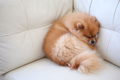 Pomeranian dog cute pets sleeping on white sofa. Pomeranian dog cute pets sleeping on white leather sofa furniture royalty free stock photos