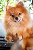 Pomeranian dog. Royalty Free Stock Photo