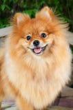 Pomeranian dog. Royalty Free Stock Photography