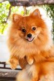 Pomeranian dog. Stock Image
