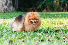 Pomeranian dog defecating on green grass