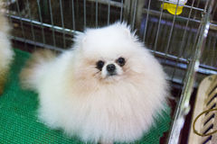 Pomeranian dog Royalty Free Stock Images