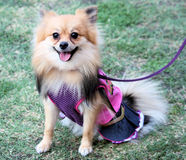 Pomeranian dog dressed up Royalty Free Stock Image