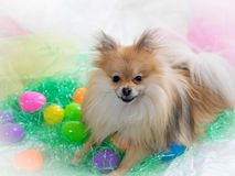 Pomeranian dog with Easter eggs and grass. Cute small Pomeranian dog with smile surrounded by easter eggs and grass stock images