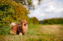 Pomeranian dog on the field Royalty Free Stock Images