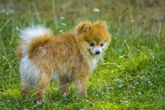 Pomeranian dog royalty free stock image