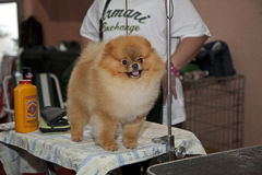 Pomeranian dog in front of the judge Royalty Free Stock Photography