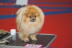 Pomeranian dog Royalty Free Stock Photo