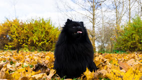 Pomeranian dog german spitz autumn season pet Royalty Free Stock Images