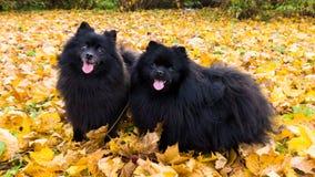 Pomeranian dog german spitz autumn season pets Royalty Free Stock Images