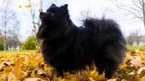 Pomeranian dog german spitz autumn season pets Royalty Free Stock Photo