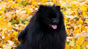 Pomeranian dog german spitz autumn season pets Stock Photos