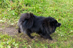 Pomeranian dog german spitz outdoor domestic animals Royalty Free Stock Photos