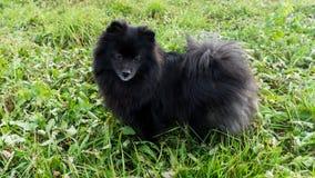 Pomeranian dog german spitz outdoor pet Royalty Free Stock Photos