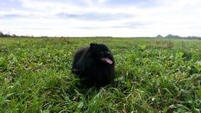 Pomeranian dog german spitz outdoor running domestic animals Stock Photo