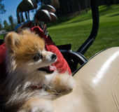 Pomeranian Dog in Golf Cart Royalty Free Stock Images