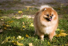 Pomeranian dog. On a green field with fall foliage Royalty Free Stock Image