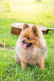 Pomeranian dog on green grass. Stock Image