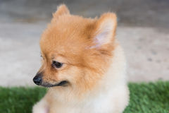 Pomeranian dog on green Royalty Free Stock Images