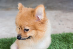 Pomeranian dog on green Stock Photography