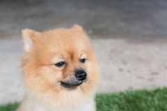 Pomeranian dog on green Stock Image