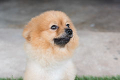 Pomeranian dog on green Royalty Free Stock Photography