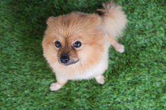 Pomeranian dog on green Royalty Free Stock Photo