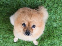 Pomeranian dog on green Stock Photo