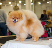 Pomeranian dog grooming Royalty Free Stock Images