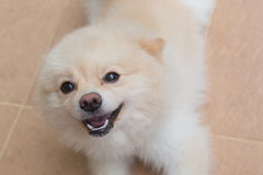 Pomeranian dog happy smile Stock Image