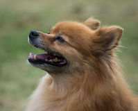 Pomeranian Royalty Free Stock Photos