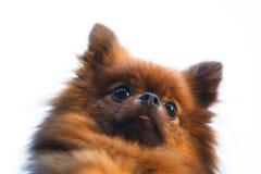 Pomeranian dog head (Zwergspitz) Royalty Free Stock Images