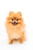 Pomeranian dog isolated on white Stock Images