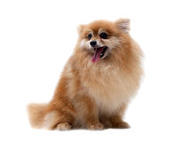 Pomeranian dog isolated Stock Photo