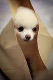 Pomeranian Dog.JPG Image libre de droits