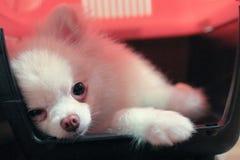 Pomeranian Dog.JPG Стоковая Фотография RF