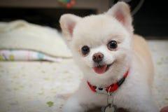 Pomeranian Dog.JPG Стоковое Фото