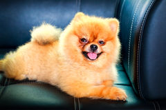 Pomeranian dog laying down on leather sofa Stock Images