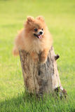 Pomeranian dog lied on tree bark Royalty Free Stock Photos