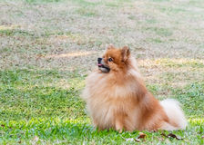 Pomeranian dog looking for something in the garde Royalty Free Stock Photos