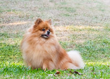 Pomeranian dog looking for something on green grass. In the garden stock images