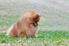 Pomeranian dog looking for something on green grass. In the garden stock photo